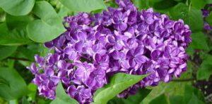 lilac(1)